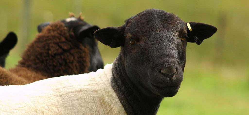 Овцы Дорпер - Купить ягнят породы Дорпер