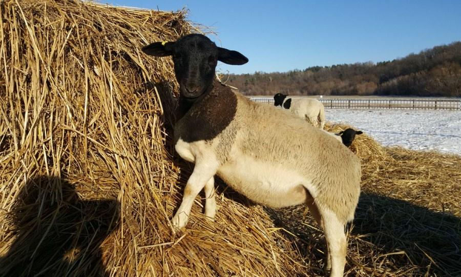 Овцы порода Дорпер в Украине